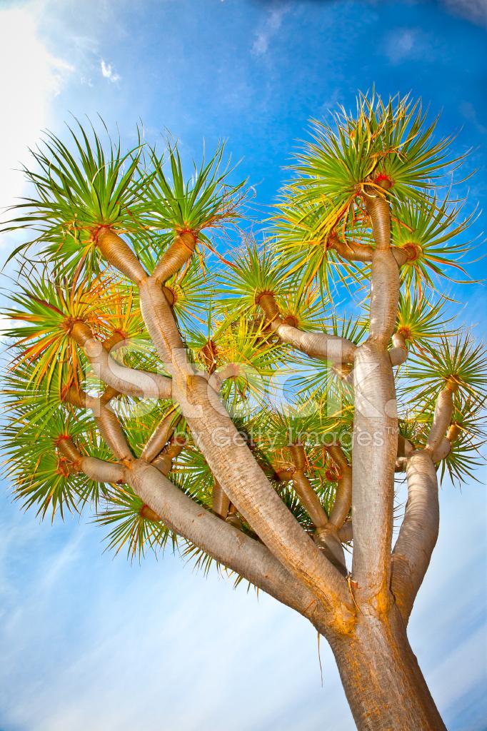 Árbol DE Drago En LA Orotava, Tenerife, Fotografías de stock ...