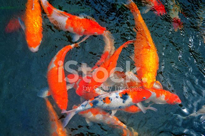 Color koi ou carpe chinoise poisson dans l 39 eau photos for Ou acheter carpe koi