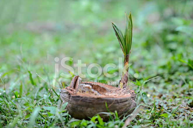 Seedling Coconut Palm Tree Stock Photos - FreeImages.com