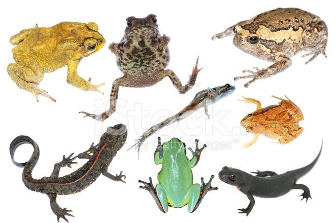 anfíbios da coleção de animais selvagens fotos do acervo
