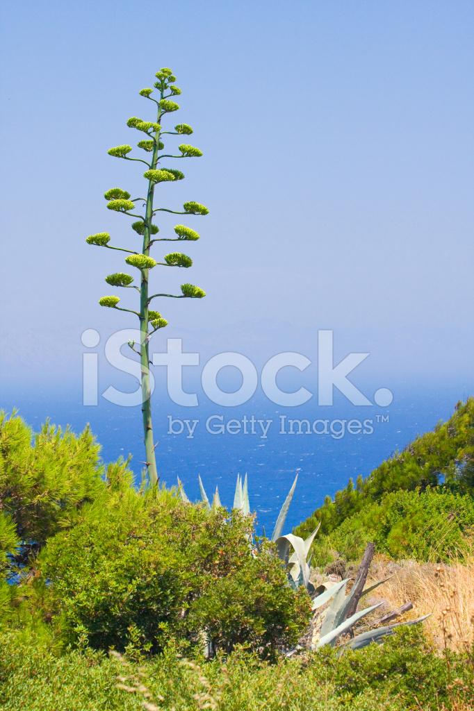 Fleur D Agave Bleu Ciel De Rhodes En Photos Freeimages Com