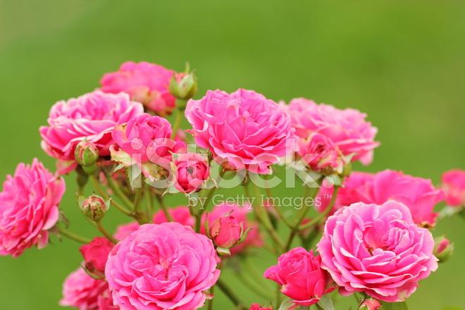 rosas rosadas fotografías de stock freeimages com