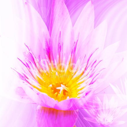 Güzel Lotus çiçeği Arka Plan Duvar Kağıdı Için Stok Fotoğrafları