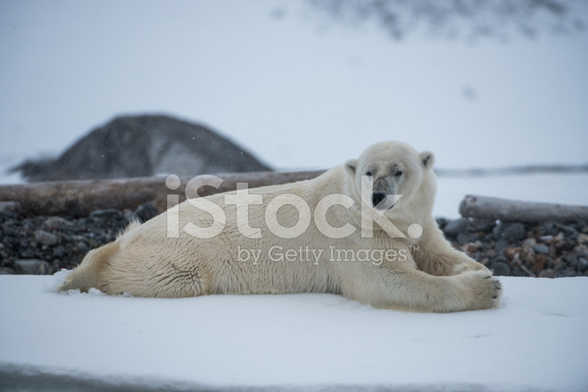 polar bear lying down in snow storm