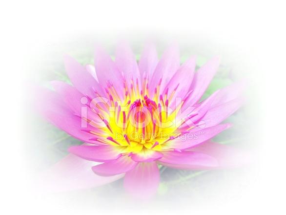 Schöne Lotusblume Vor Einem Weißen Hintergrund Stockfotos ...