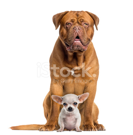 dogue de bordeaux and baby chihuahua sitting facing isolated stock photos. Black Bedroom Furniture Sets. Home Design Ideas