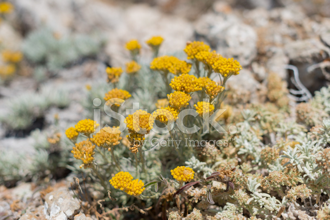 Small Bushes With Bright Yellow Flowers Stock Photos Freeimages