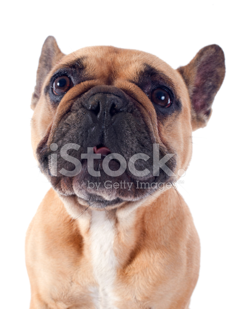 u6cd5 u56fd u6597 u725b u72ac  u7167 u7247 u7d20 u6750 freeimages com cute bulldog clipart free french bulldog clipart free