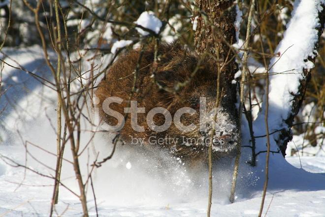 Как зимуют кабаны в лесу