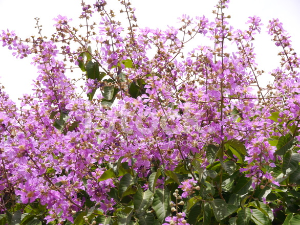 Purple flowers of scientific name lagerstroemia floribu stock premium stock photo of purple flowers of scientific name lagerstroemia floribu mightylinksfo