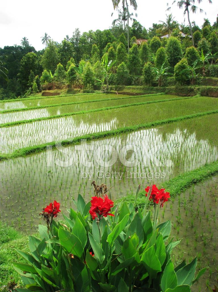 Bali Bella Terrazza Risaie Sul Monte Nord Balinese