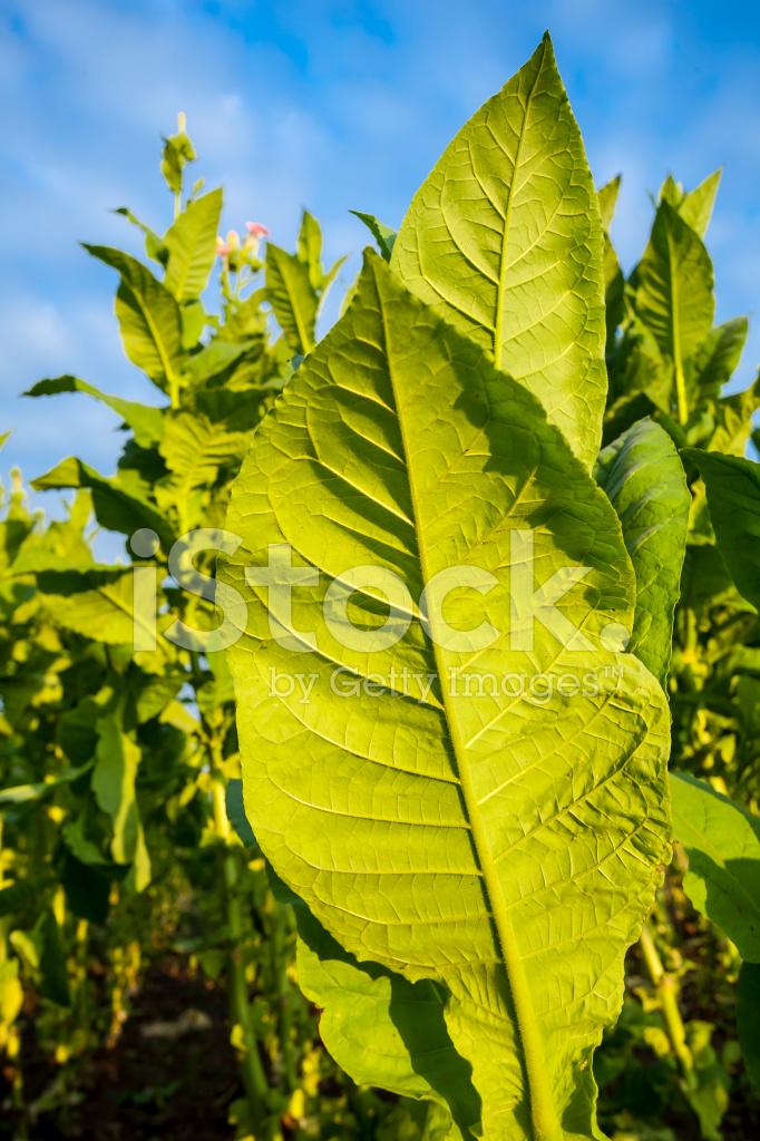 Pflanze Mit Großen Blättern tabak pflanzen mit großen blättern und rosa stockfotos freeimages com