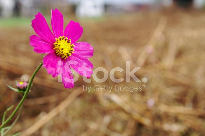 Cosmea Fiore Fotografie Stock Freeimagescom