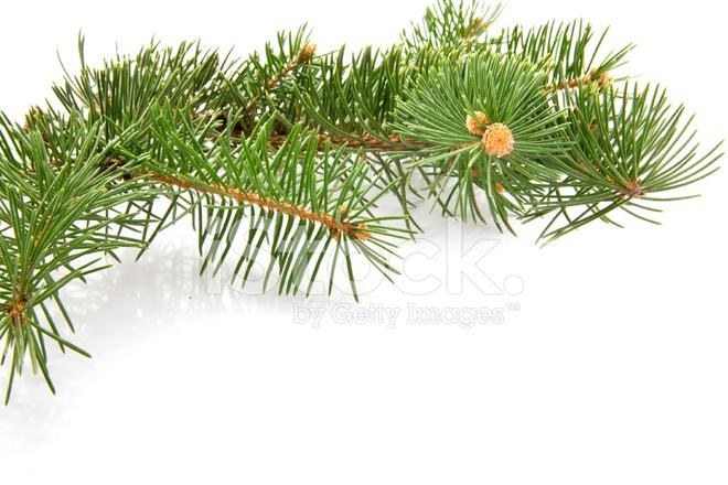 fir tree rash #10