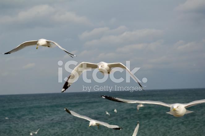 Ring Billed Gulls Stock Photos Freeimages Com