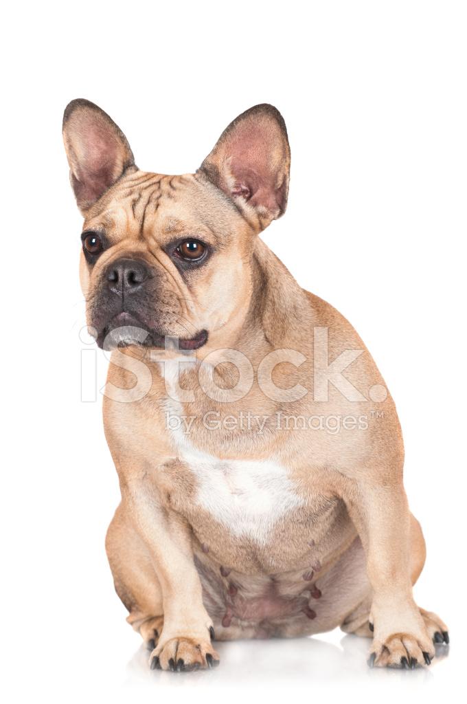 Red French Bulldog Dog Stock Photos - FreeImages.com