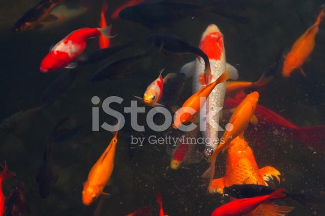 Karpers In Tuin : Koi karpers vis japanse zwemmen cyprinus carpio mooie stockfotos