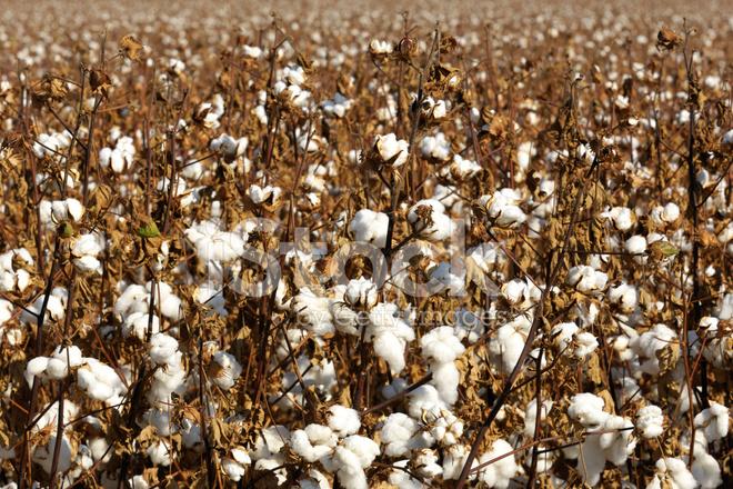 Campo di piante di cotone con capsule pronte per il raccolto