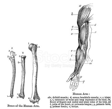 Anatomía Brazo Humano Stock Vector - FreeImages.com