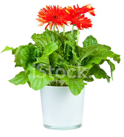 red gerbera in pot stock photos. Black Bedroom Furniture Sets. Home Design Ideas