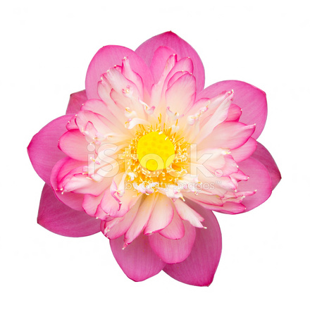 Pink Beautiful Lotus Buddhist Religious Stock Photos Freeimages