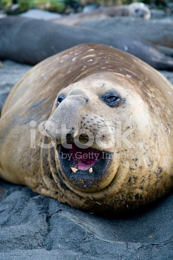 Elephant Seal Antarctica Stock Photos Freeimages Com