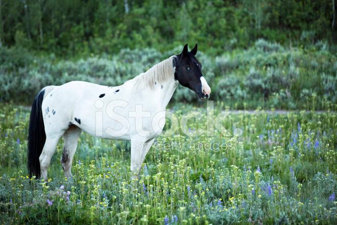 Strking Bianco E Nero Paint Horse In Alpeggio Fotografie