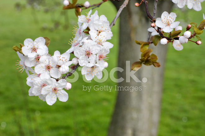 White Blossom Of Myrobalan Plum In Spring Stock Photos