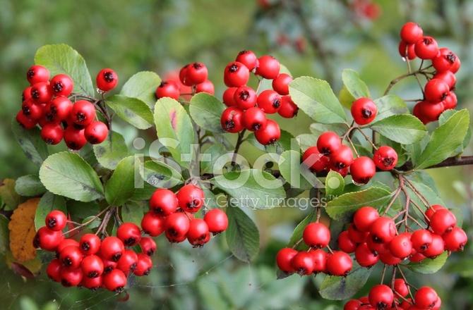 Red Berries Of Ornamental Bush In Garden Stock Photos