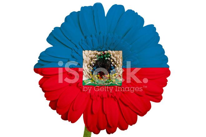 Gerbera Daisy Flower In Colors National Flag Of Haiti Stock Photos