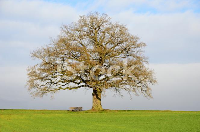 Bench Under Old Bare Oak Tree On Field IN Fall Stock