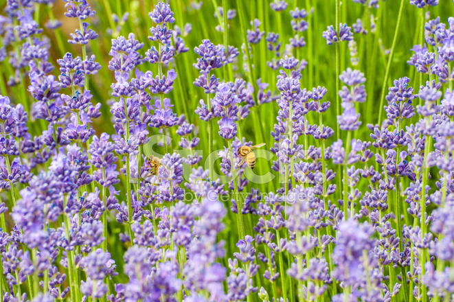 Flores De Lavanda No Campo Fotos Do Acervo Freeimages Com