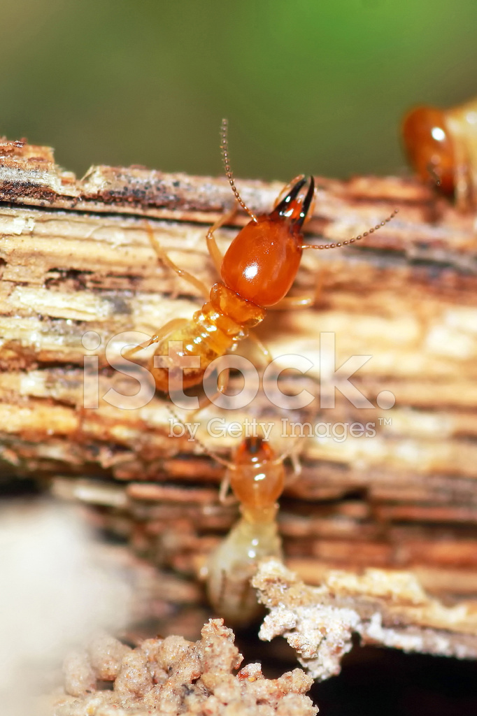 Termites Eating stock photos - FreeImages.com