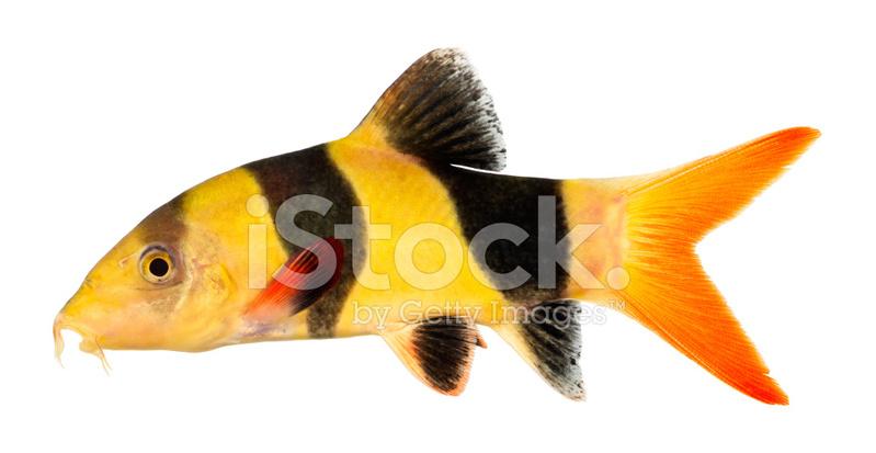 Clown loach fish stock photos for Clown fish size