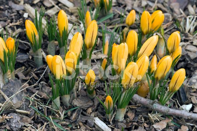 Erste Fruhlingsblumen Gelbe Krokusse Stockfotos Freeimages Com