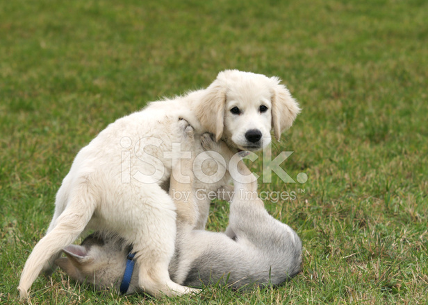 Cane lupo cecoslovacco e golden retriever cucciolo in un