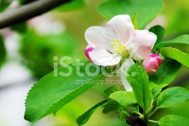 Fiori Rosa Apple Su Sfondo Verde Fotografie Stock Freeimagescom