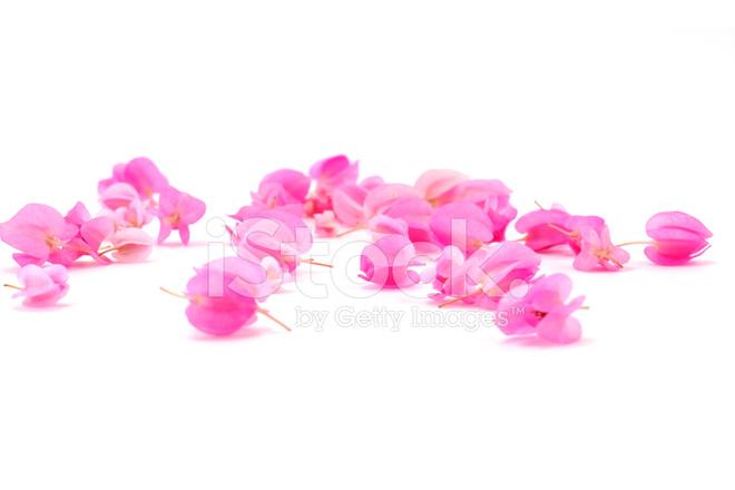 Fleur Rose Sur Fond Coral Vine Creeper Mexicain Photos Freeimages Com