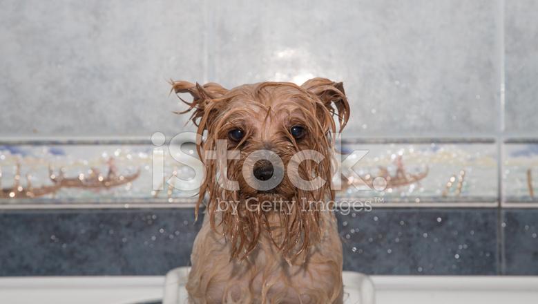 Terrier yorkshire po 39 bagnato dopo il bagno fotografie - Bagno cane dopo antipulci ...