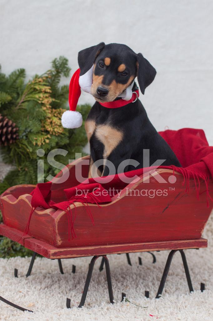 Dobermann Welpen IN Ein Weihnachts Schlitten Stockfotos - FreeImages.com