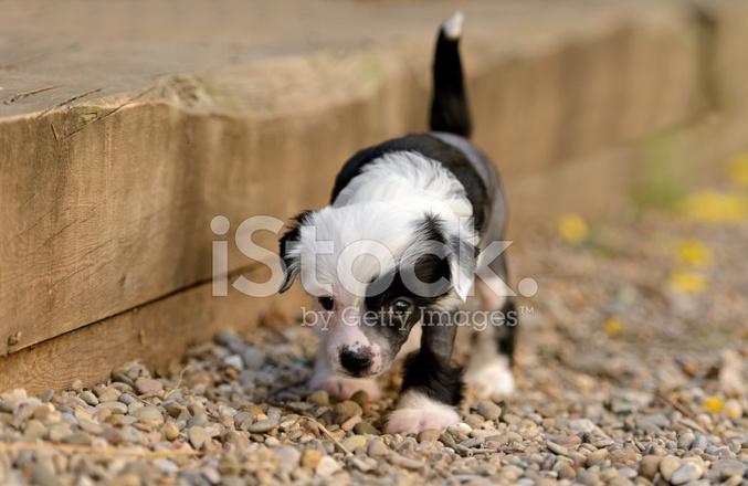 Kinesisk Nakenhund Valpar Stockfoton Freeimages Com