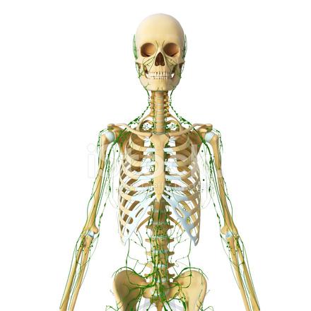 Lymphatische System Der Vorderansicht MIT Skelett Stockfotos ...