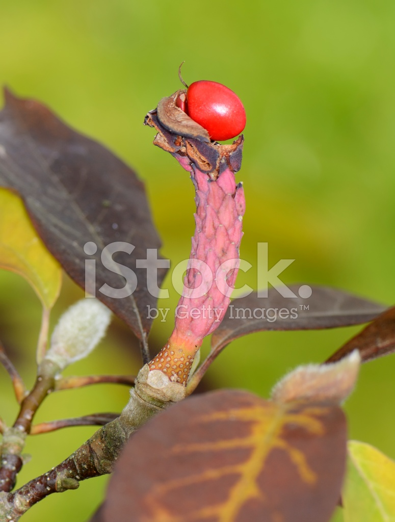 плод магнолии фото
