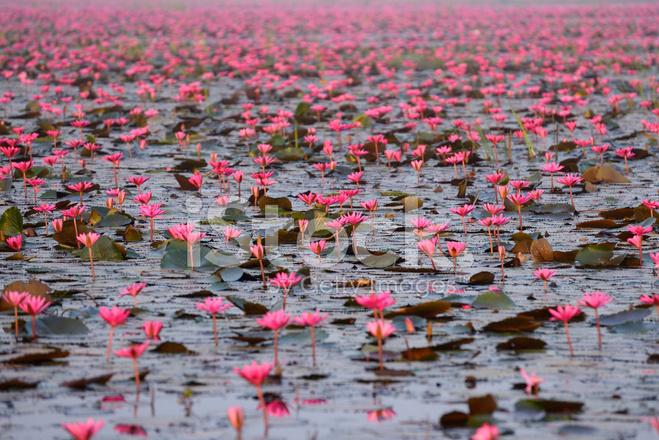 Red Lotus Pond stock photos - FreeImages.com