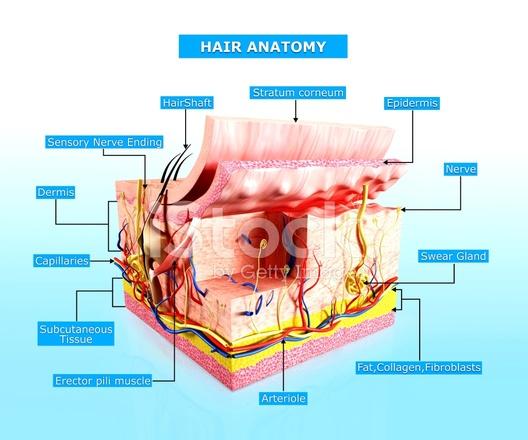 Human Skin Hair Anatomy Diagram Stock Photos Freeimages