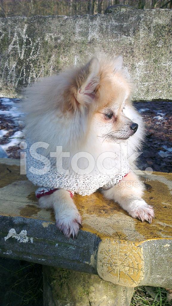 Pomeranian Dog Sitting Canis Familiaris Adult Portrait Stock