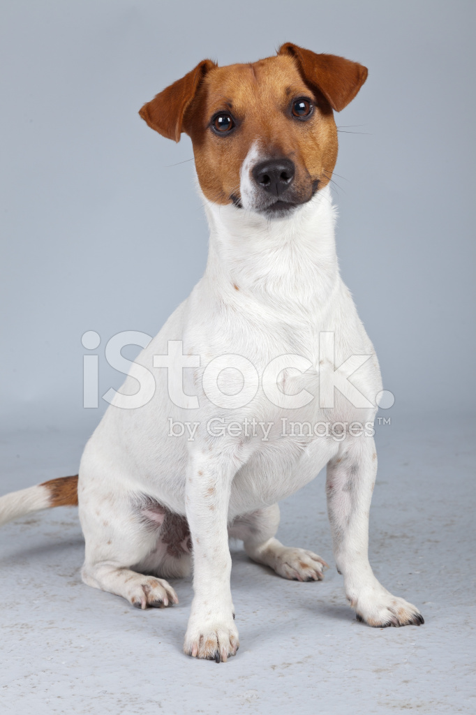 Jack russell terrier cane bianco con macchie fotografie stock