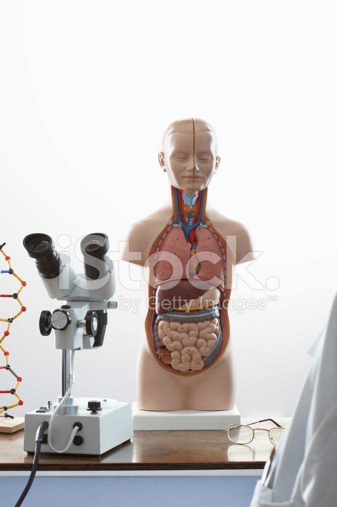 Microscopio Y Modelo DE Anatomía Humana Fotografías de stock ...