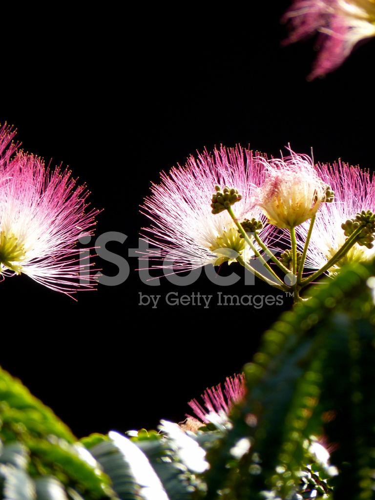 Flowers Persian Silk Albizia Julibrissin On Black Backgrou Stock