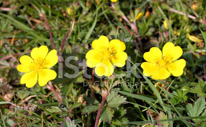 Tres flores de color amarillo azufre potentilla recta cinquefoil tres flores de color amarillo azufre potentilla recta cinquefoil mightylinksfo